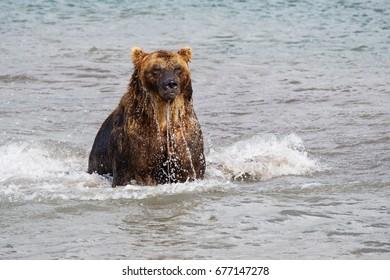 Bear looks for fish in water, Kuril lake, Kamchatka