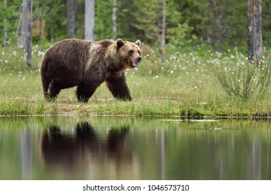Bear next to water, bear in bog.