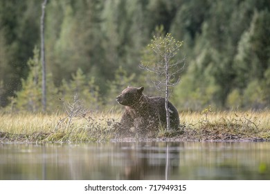 BEAR ON POND