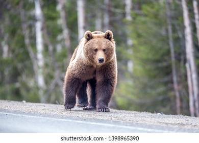 Bear on the road. A big brown bear asks for food from drivers.