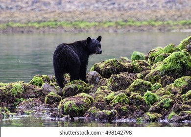 Bear on the rocks at low tide in Tofino BC