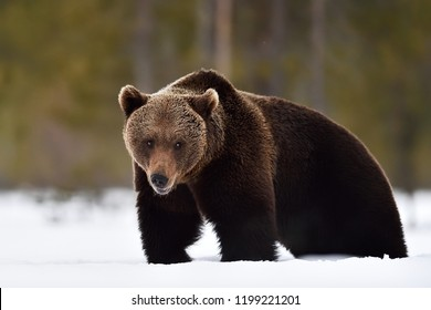 Bear on snow