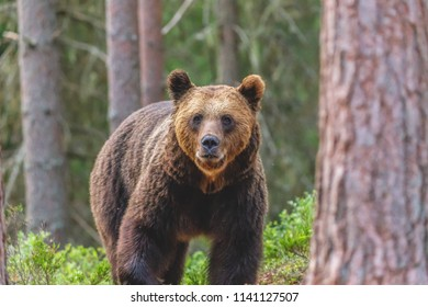 Bear out in nature