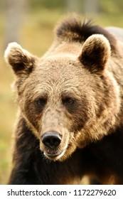 Bear portrait. Bear face closeup.