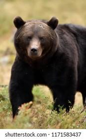 Bear powerful pose. Bear closeup in summer forest.