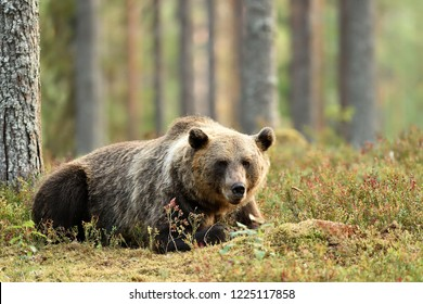 bear resting in forest. big brown bear in forest scenery.