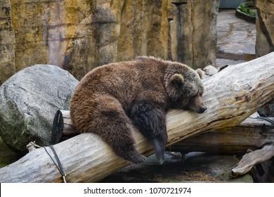 Bear resting on a trunk