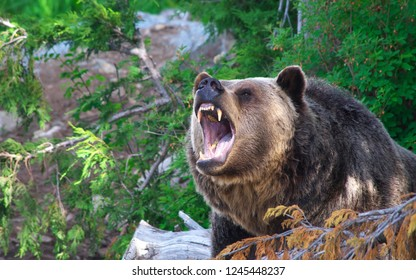 Bear roars in the forest