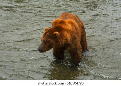 Bear Salmon Fishing