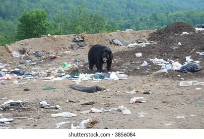 bear searches for food