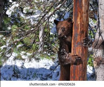 Bear as seen in Sierras in June