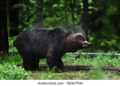 Bear shaking off the water, droplets of water clearly visible. Wet bear shakes.
