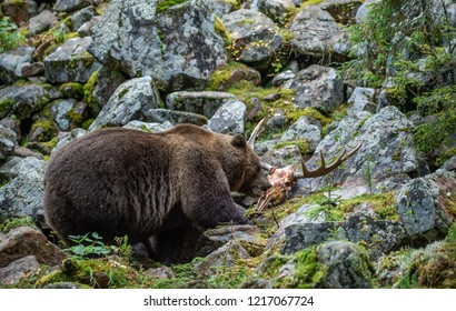 Bear and skul of moose.  A brown bear in the autumn forest. Adult Big Brown Bear Male. Scientific name: Ursus arctos.