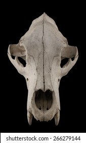 Bear skull isolated on a black background