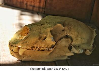 A bear skull model on wooden table background.