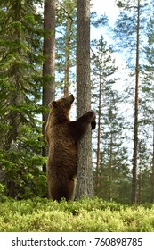 Bear standing in forest. Hug a tree.