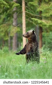 bear standing in a forest scenery. standing bear.