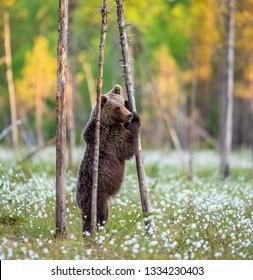 Bear standing on his hind legs  on the swamp. Ursus Arctos ( Brown Bear)