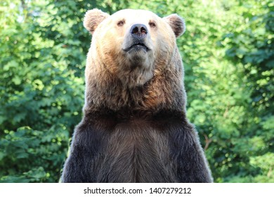 bear stands on its hind legs against the backdrop of greenery, close-up.