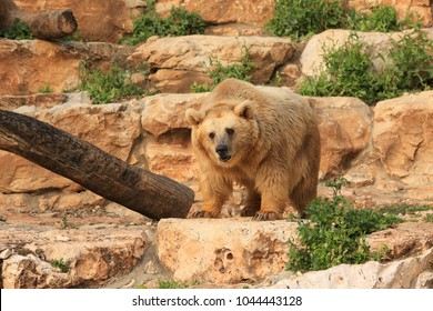 The bear stands on the slope of the cliff