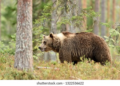 bear in summer forest