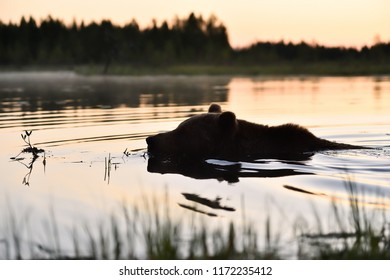 Bear swimming in the water after sunset. Bear night swim.