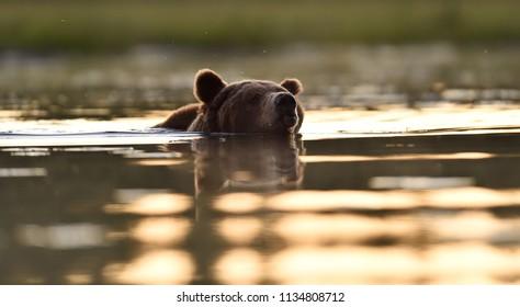 Bear swims after sunset