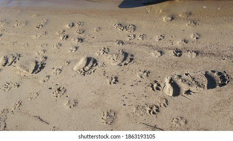 bear tracks in the sand, animal tracks, on a river