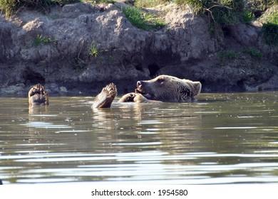 Bear (Ursus arctos)
