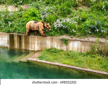 A Bear is walking along edge of pool in Bern Bear Pit (Barengraben) in Bern Bear Park, Berne, Switzerland. Bear is a symbol of both city and surrounding canton, and is featured in their coat of arms