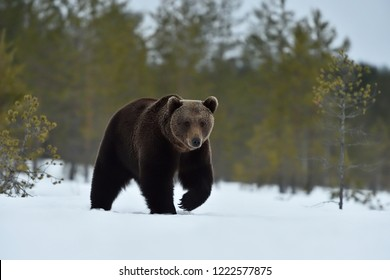 Bear walking on snow. Bear approaching on snow.