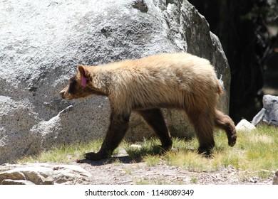 A bear walking through the forest