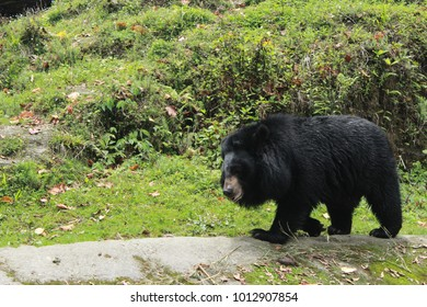 bear walking in zoo