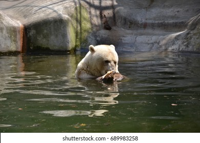 Bear in the water, eating fish