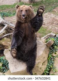 Bear waving a paw in greeting, Cochem, Rhineland-Palatinate, Germany