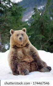 Bear in winter forest