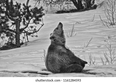 Bear in the winter moaning, B&W