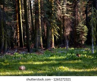 Bear  in Yosemite Valley. California