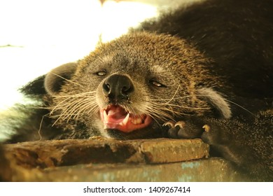 A bearcat or Arctictis Binturong at a Cuc Phoung National Park in Ninh Binh, Vietnam