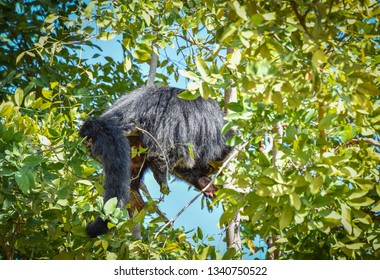 Bearcat or arctictis binturong lying sleeping relax on the tree in summer day