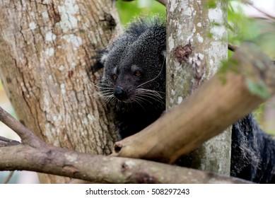 Bearcat hide on the tree.