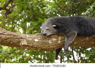 Bearcat lying on a tree / Binturong / Arctictis Binturong