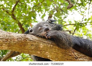 Bearcat sleeping on a tree / Binturong / Arctictis Binturong