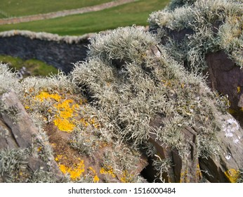 Beard moss lichen (usnea) growing on a dry stone wall near Sumburgh Head at the most southerly point of Shetland, Scotland, UK