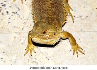 Bearded Agama (Pogona barbata)