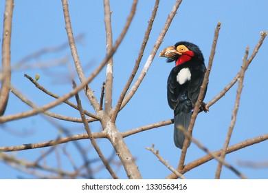 Bearded Barbet, bird of Gambia