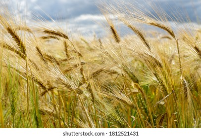 Bearded Barley nearly reaching the point of Harvest I in a field near Thirsk, North Yorkshire,UK