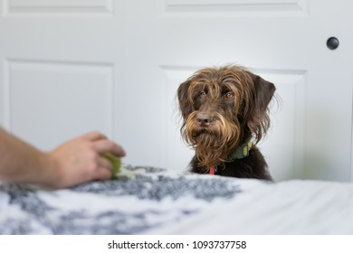 Bearded brown furry dog sits eyeing the tennis ball in his owners hand
