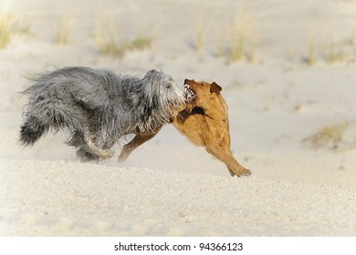 Bearded Collie and Airedale Terrier plays on the bach