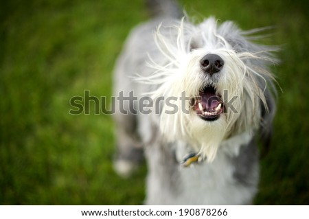 Bearded Collie Barking ready to play fetch�Momo barks wildly until the ball is dispatched for him...